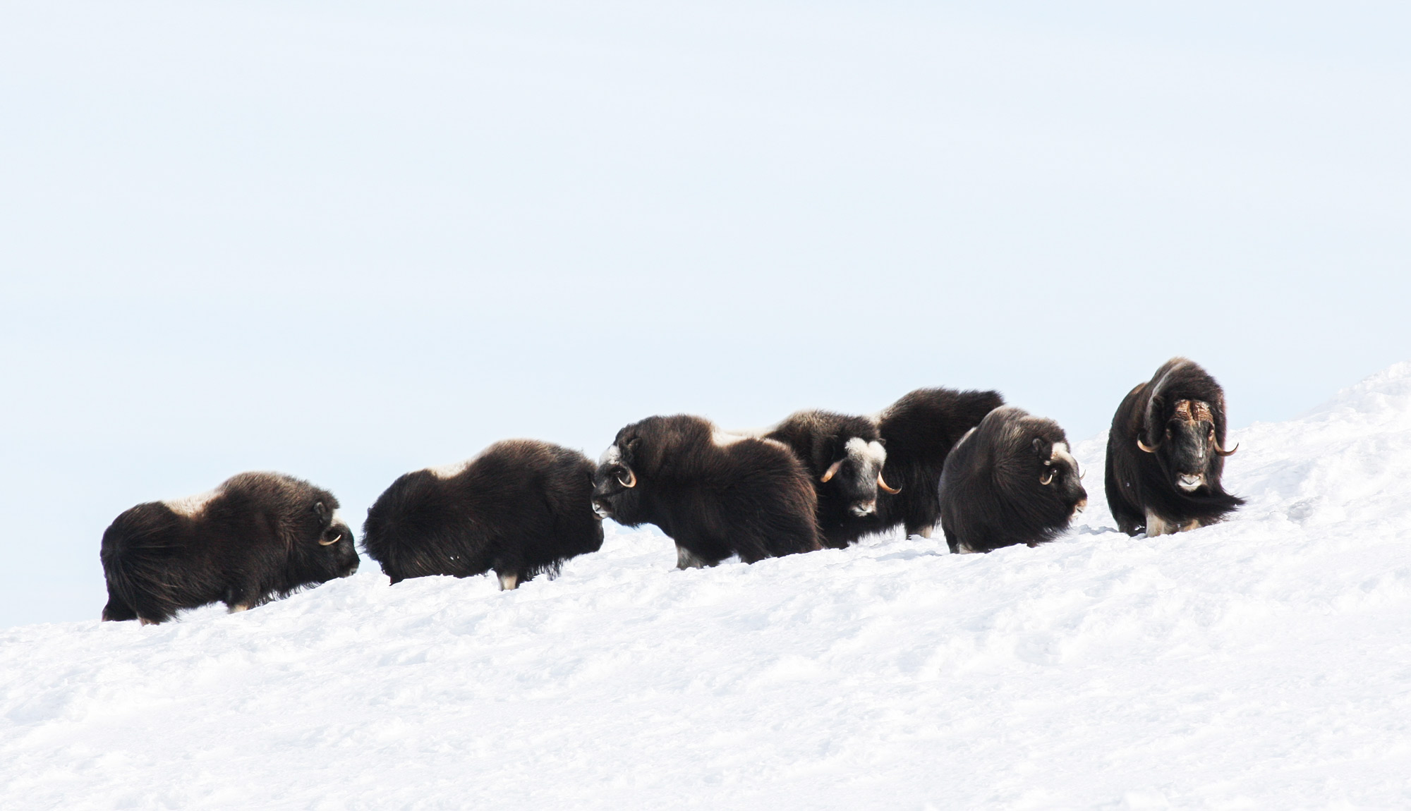 The Muskox centre